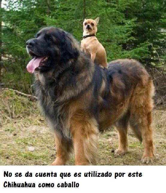 perros_gigantes14_0