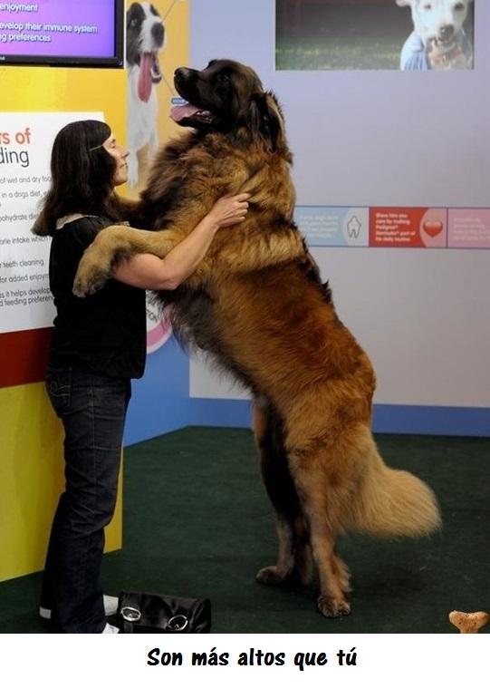 perros_gigantes5_0
