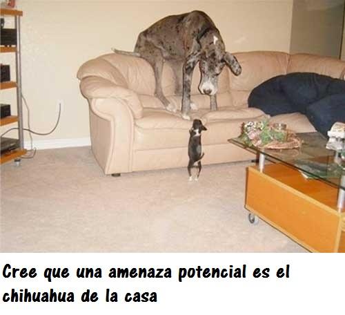 perros_gigantes8