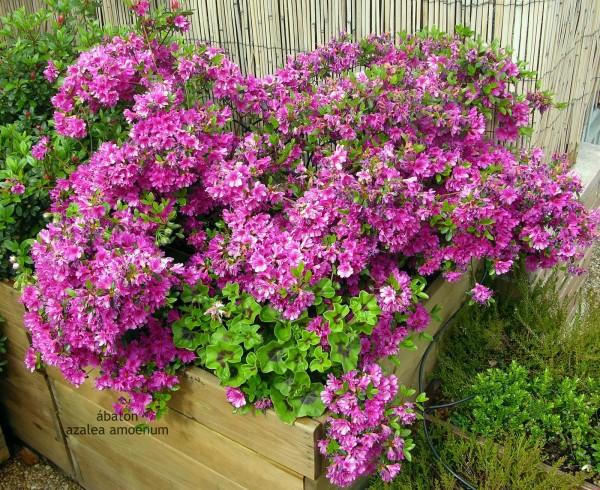 10 plantas que purifican el aire de nuestra casa adqui relas - Azalea cuidados planta ...