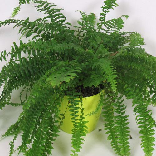 10 plantas que purifican el aire de nuestra casa adqui relas for Plantas ornamentales helechos