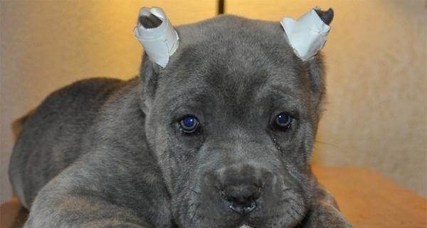 Querés a tu perro? No le cortes las orejas y cola 7 Razones