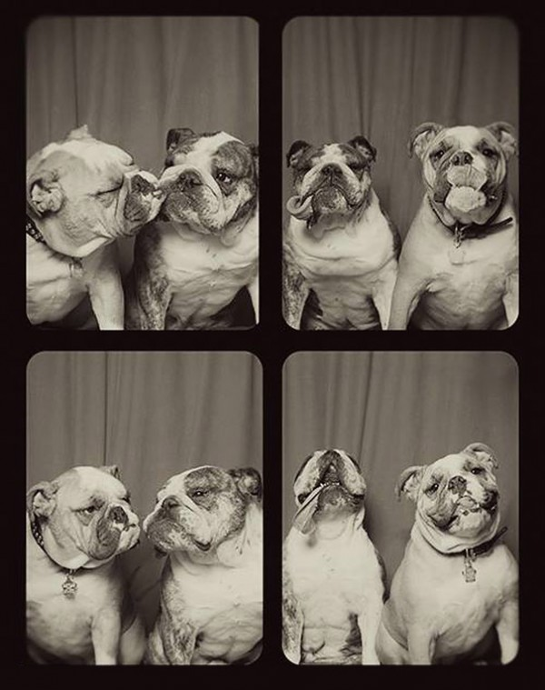 pit-bulls-photo-booth-cute-dogs-lynn-terry-4
