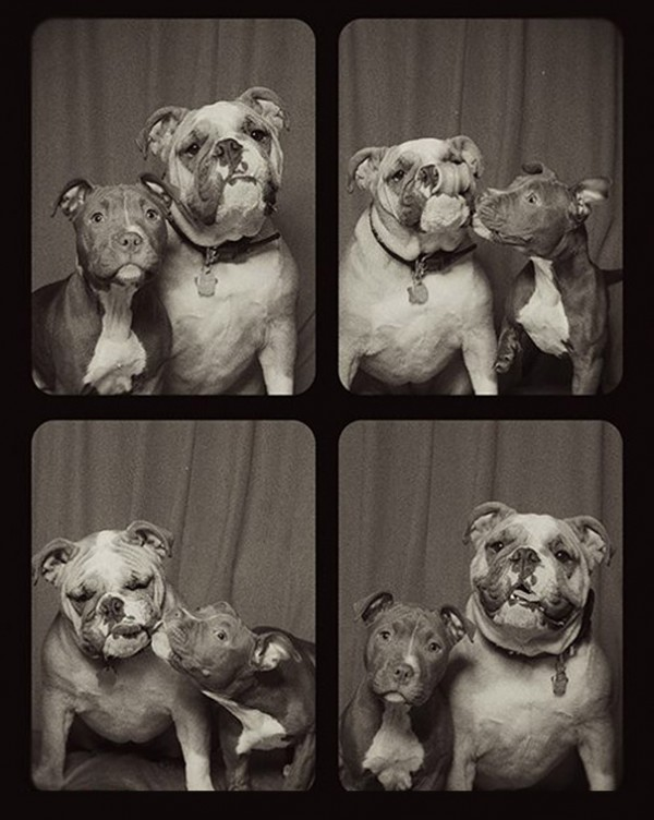 pit-bulls-photo-booth-cute-dogs-lynn-terry-6