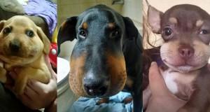 perros hinchados