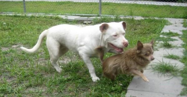 pitbull y chihuahua4