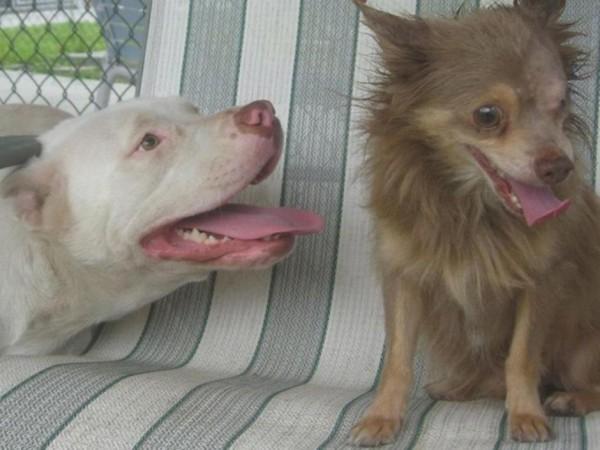 pitbull y chihuahua6