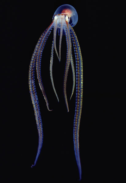 pulpo biolumiscente