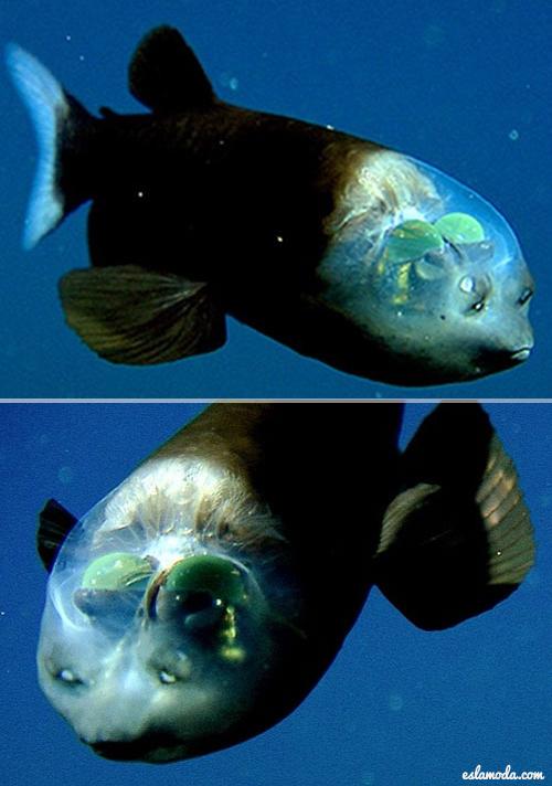 spook-fish