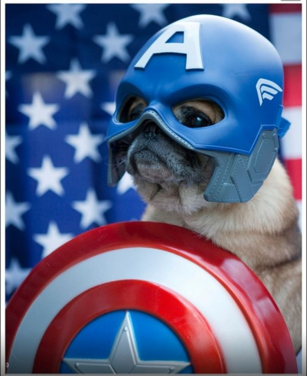 capitan america pug
