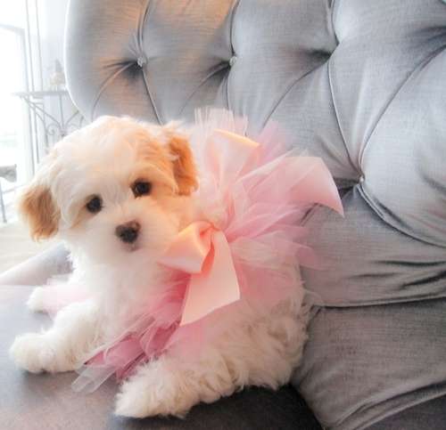 puppy regalo