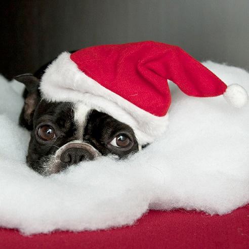 Dogs Donning Santa Hats