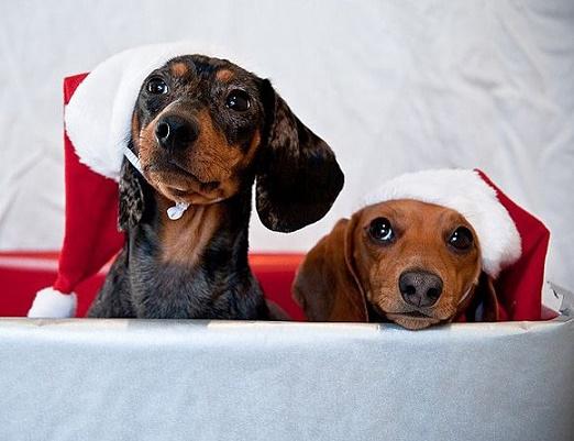 Dogs Donning Santa Hats12