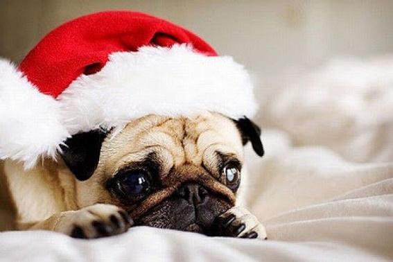 Dogs Donning Santa Hats13