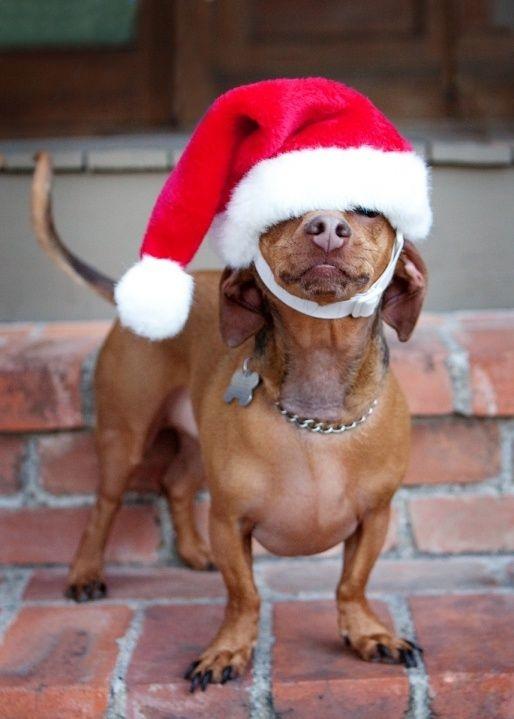 Dogs Donning Santa Hats16