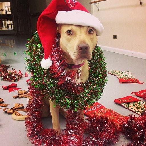 Dogs Donning Santa Hats2