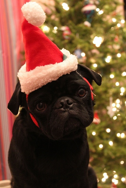 Dogs Donning Santa Hats22