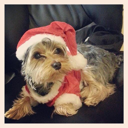 Dogs Donning Santa Hats3