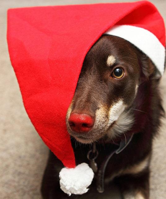 Dogs Donning Santa Hats4