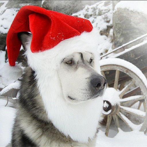 Dogs Donning Santa Hats8