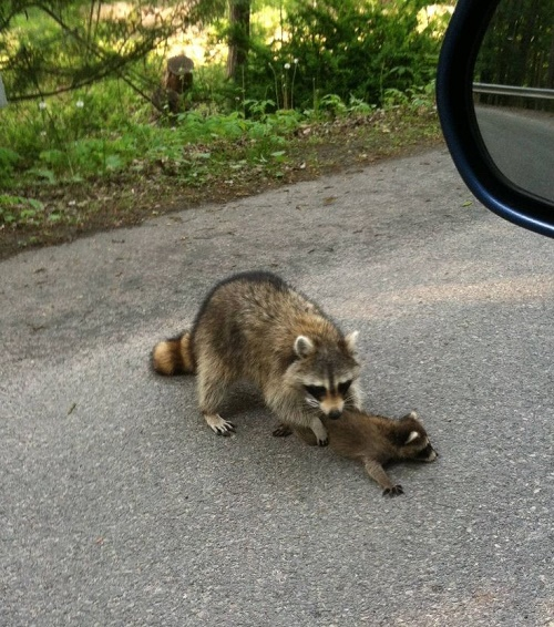 funny racoon14