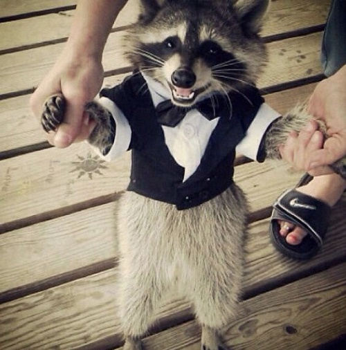 funny racoon3