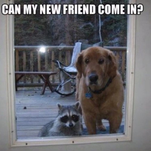 funny racoon4