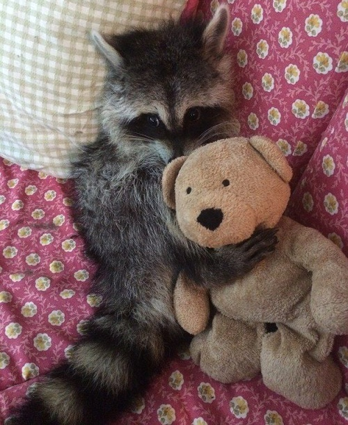 funny racoon5