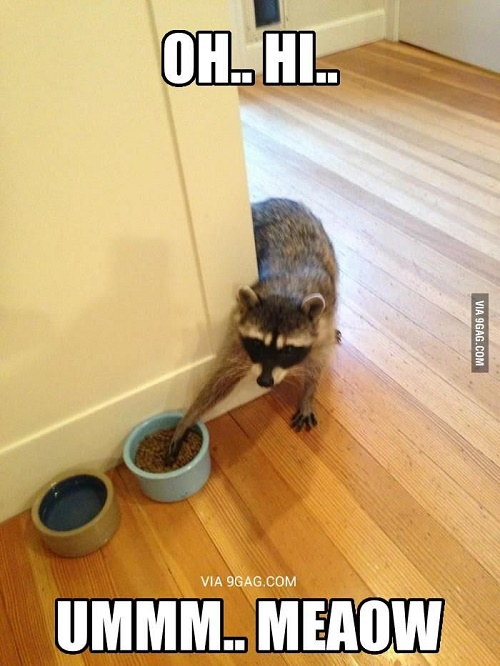 funny racoon6