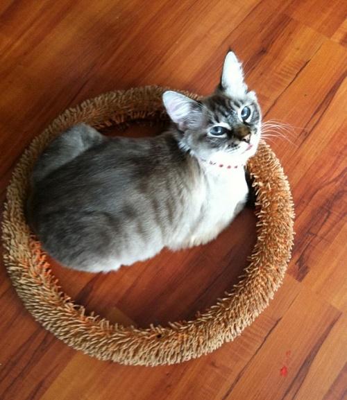 gatos sentados en círculos10