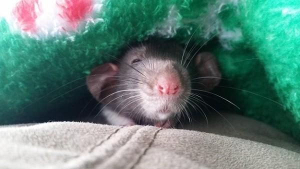 rats17