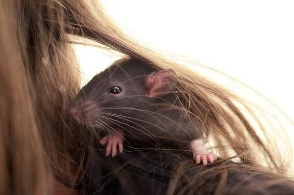 rats18