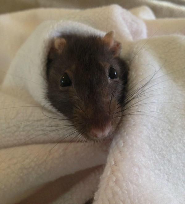 rats20