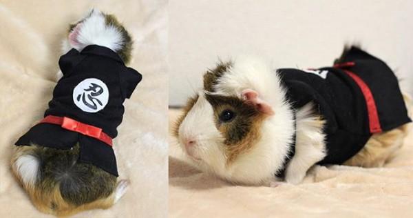 guinea pigs10