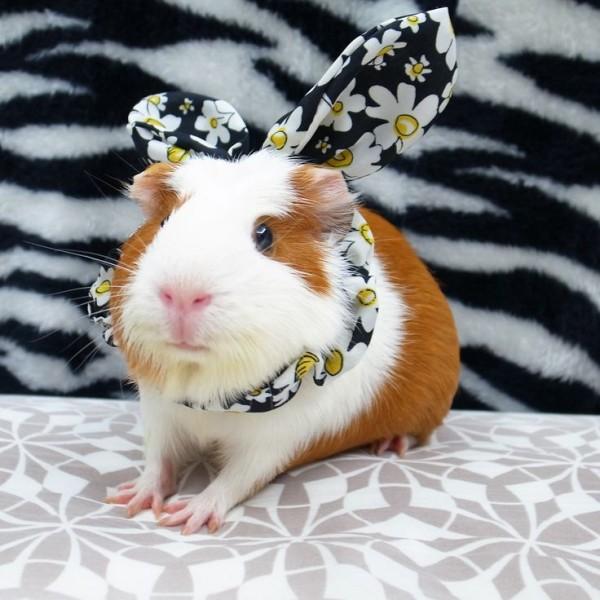 guinea pigs11