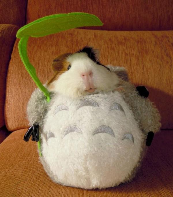 guinea pigs13