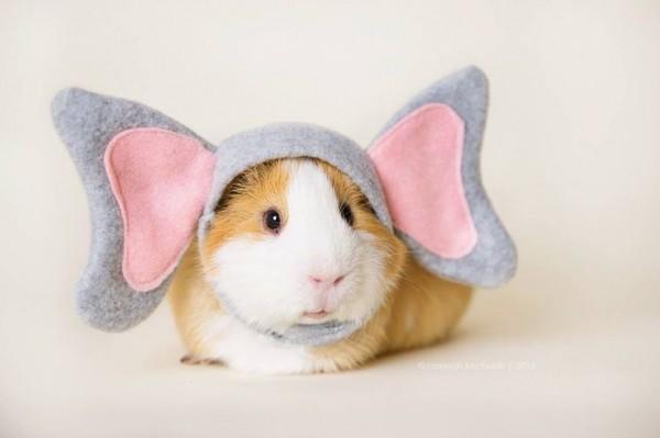 guinea pigs14