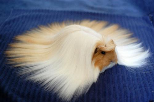 guinea pigs16