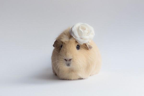 guinea pigs2