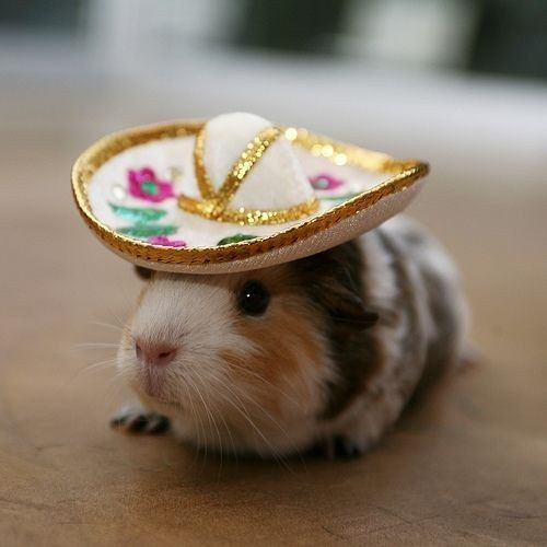 guinea pigs3