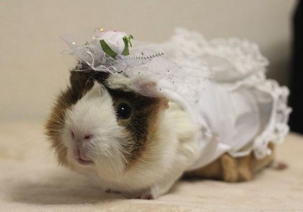 guinea pigs9