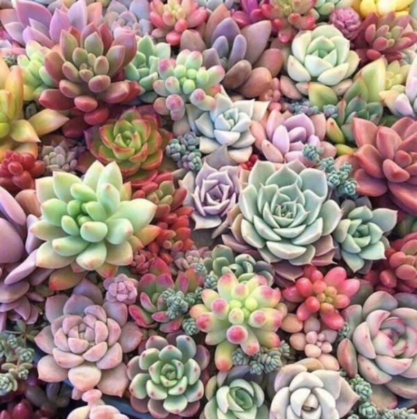 tipos-succulent